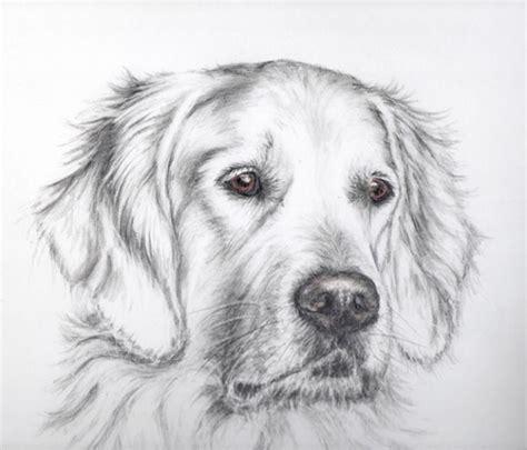 golden retriever   large sized breed  dog