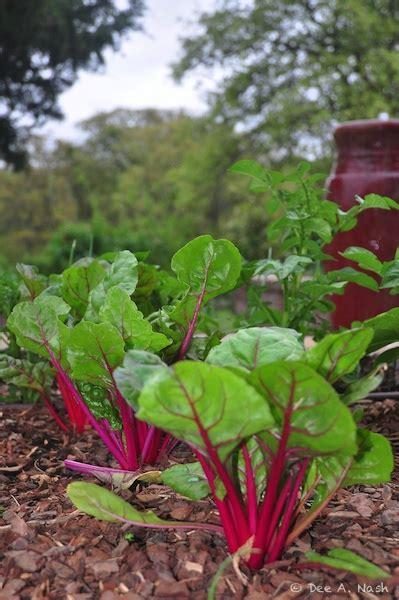 fall vegetable garden my oklahoma fall vegetable garden dirt ramblings 174