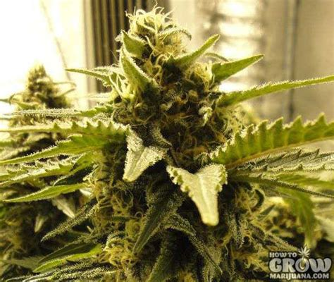 nirvana snow white feminized marijuana seeds