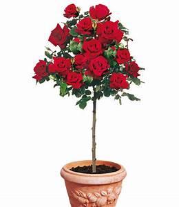 rosen stamm 39le rouge et le noirr39 1a rosenpflanzen With französischer balkon mit www baldur garten de rosen