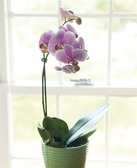 how to make an orchid rebloom pinterest the world s catalogue of ideas