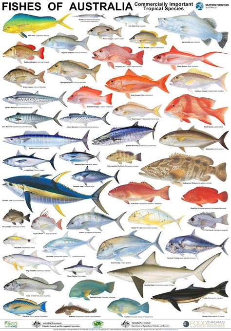 australian fish poster fish chart