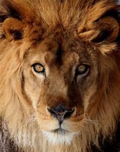 ライオン:画像 : ライオン・画像 - NAVER ...
