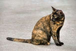 tortoiseshell cat falling in with tortoiseshell cats pet care facts