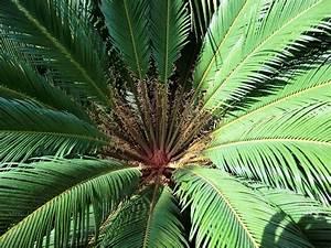 Palme Winterhart Kübel : palmen und co hat jemand erfahrung mit absonne und ~ Michelbontemps.com Haus und Dekorationen