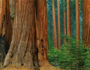 Giant Forest Sequoia National Park California