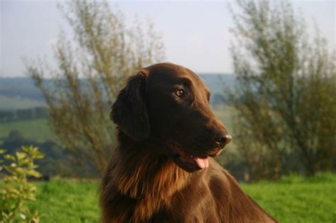 does flat coated retriever shed 5 overlooked breeds that make great family companions
