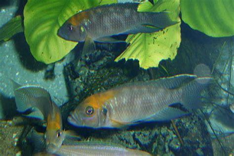 poisson lac tanganyika aquarium les conchylicoles du lac tanganyika eau douce afrique lac tanganyika aquarium webzine l