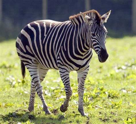 Zebra Animal Facts