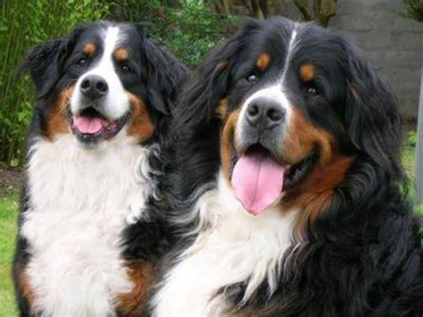 Veja Fotos De Fil Es De Bernese Mountain  Ee  Dog Ee   E De Caes