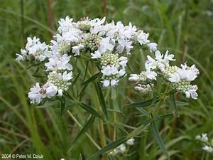 Pycnanthemum Virginianum  Virginia Mountain Mint
