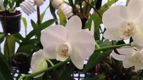 caring for phalaenopsis orchids after flowering orchid care how to cut off the old phalaenopsis orchid bloom spike and care tips for re bloom