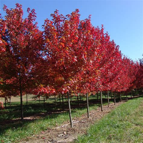autumn blaze maple autumn blaze maple