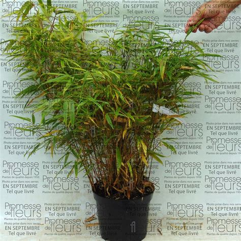 le fargesia rufa bambou non tra 231 ant esp 232 ce 224 feuillage vert 224 port retombant