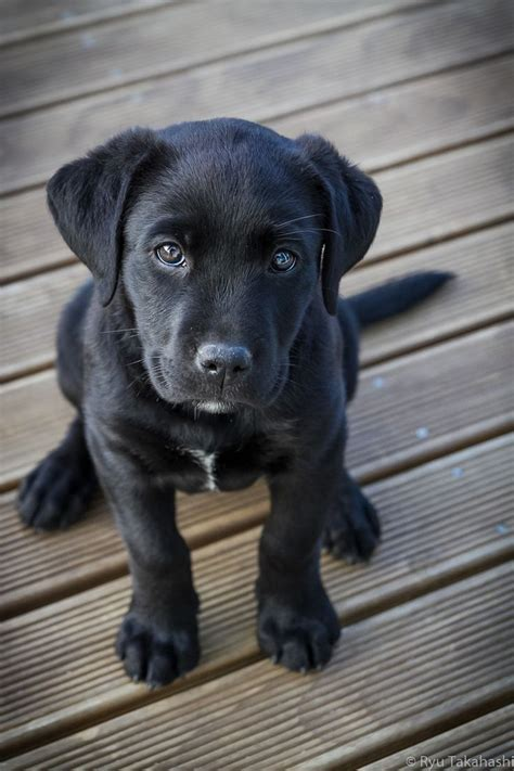 25  best ideas about White Lab Puppies on Pinterest   White labrador, Cute labrador puppies and