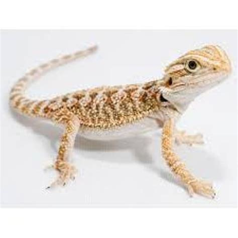 what kind of heat l for bearded dragon 10 facts about bearded dragons fact file