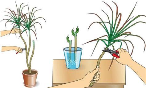 dracena marginata pflege drachenbaum zimmerpflanzen drachenbaum garten pflanzen und zimmerpflanzen