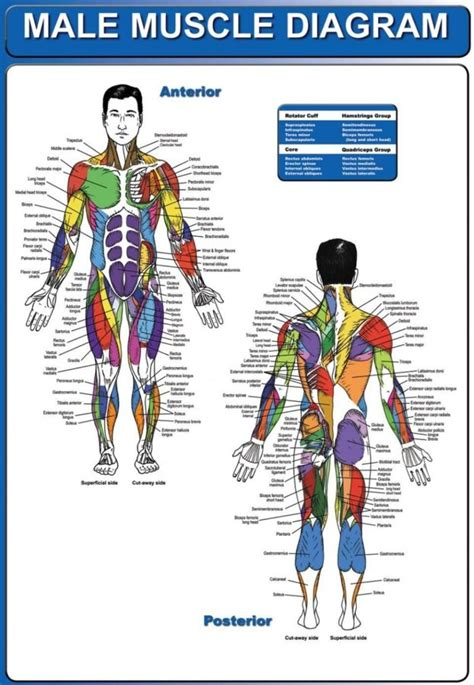 With the help of a diagram in this article, let us understand the function of this system, and the organs that constitute it. Human Body Muscle Diagrams