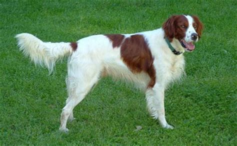 irish red and white setter dog breed history and some