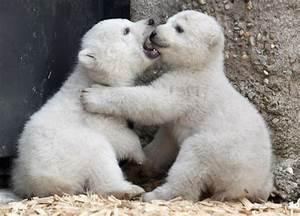 Newborn Baby Polar Bears | Amazing Wallpapers