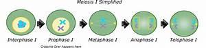31 Meiosis Diagram Simple