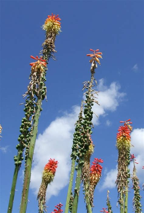 Red Hot Poker  Growing And Caring For Torch Lilies The