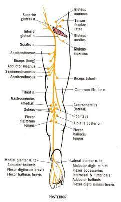 sciatica treatments sciatic nerve  divisions  served muscles treatmentfor