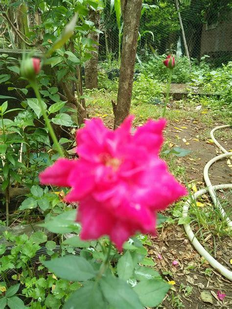 Terkeren 25+ Setangkai Bunga Mawar Hijau Gambar Bunga HD
