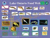 Great Lakes Food Web Diagrams  Noaa Great Lakes