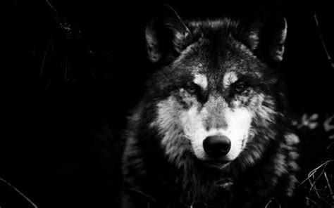Alpha Wolf Wolf Wallpaper by Thewolfromeo Explore Thewolfromeo On Deviantart