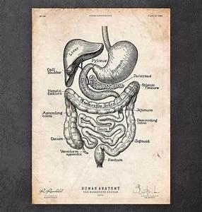 Digestive System Anatomy Print