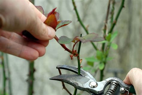 pruning roses all you need to know about pruning roses flowers for everyone