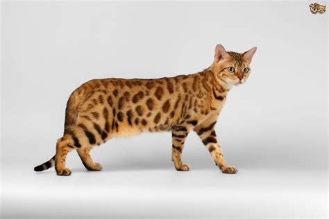 Is it True Bengal Cats Shed less Than Other Cats? | Pets4Homes