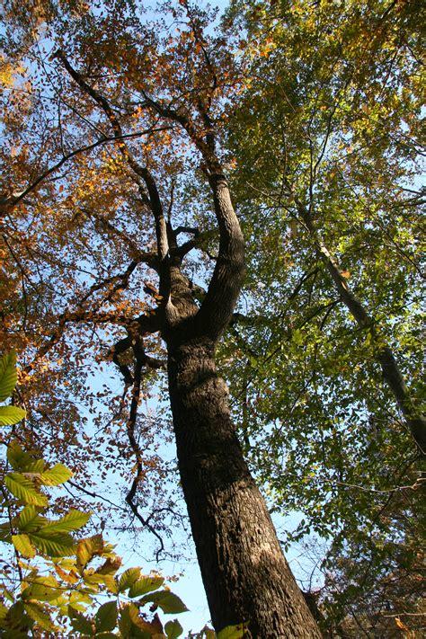 chestnut oak delaware trees