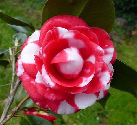 Indahnya Bunga Camellia Japonica ~ Kumpulan Gambar Lucu