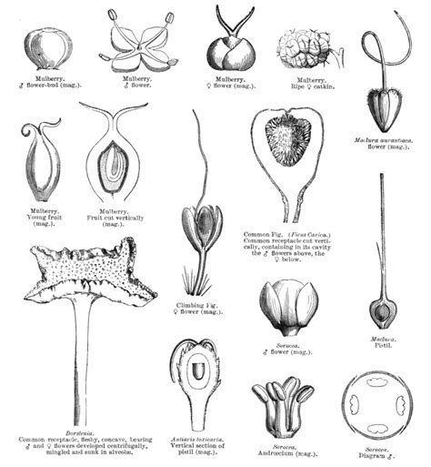 Anacardiaceae Diagram Of The Flower Floral by Families Of Flowering Plants