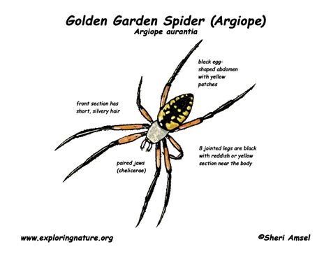 Spider Egg Diagram by Spider Golden Garden Or Argiope