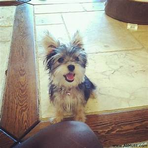 Yorkshire Terrier Mix With Maltese | www.imgkid.com - The ...