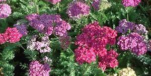 Couvre Sol Vivace : fleurs odorantes vivaces ~ Premium-room.com Idées de Décoration