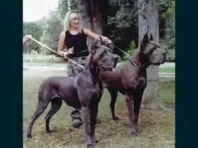 Largest World Biggest Dog