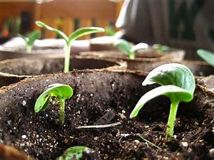 Cucumber Seedlings 2012 | Simple Gardening With Chris