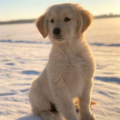 facts about golden retrievers fur