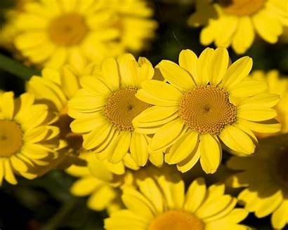 Yellow Flowers Background Flower Ipad Wallpapers13
