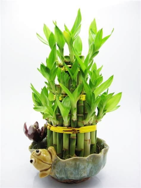 planter un bambou en pot 28 images cultiver un bambou en pot planter des bambous en pot 28