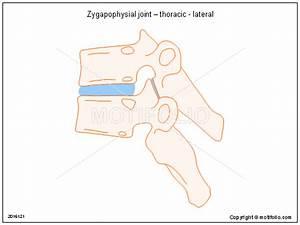 Zygapophysial Joint  U2013 Thoracic