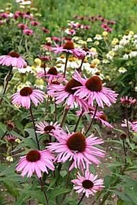 Sonnenhut Pflanze Kaufen : sonnenhut pflanze pflanzen f r nassen boden ~ Buech-reservation.com Haus und Dekorationen