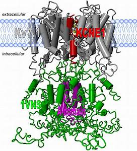 Structural Model Of The Kv7 1 Channel  The Transmembrane