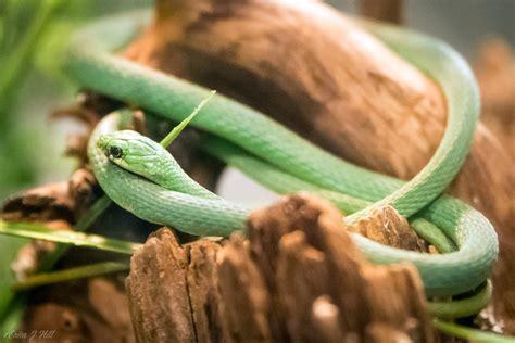 Rough Green Snake - Cincinnati Zoo & Botanical Garden®