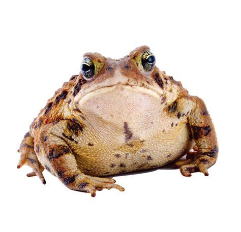 Frog Download Transparent PNG Image | PNG Arts