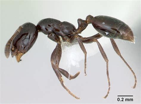 Little Black Ant Wikipedia